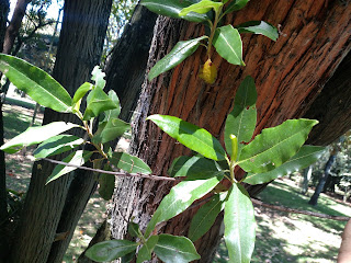 Tibar – escallonia paniculata colombia andes tree arbol leaves bark red