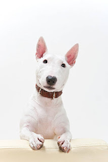 Everything about your Bull Terrier