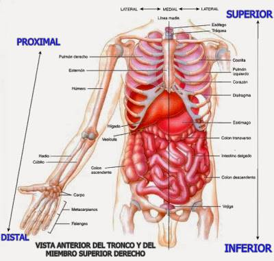 Planos anatómicos y posiciones distal, proximal, inferior y superior