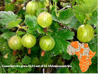 Gooseberries grow in 34 out of 54 African countries.