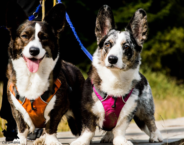podróże z psem, wakacje z psem, z psem w góry, w góry z psem, karkonosze z psem, sudety z psem, welsh corgi, welsh corgi cardigan