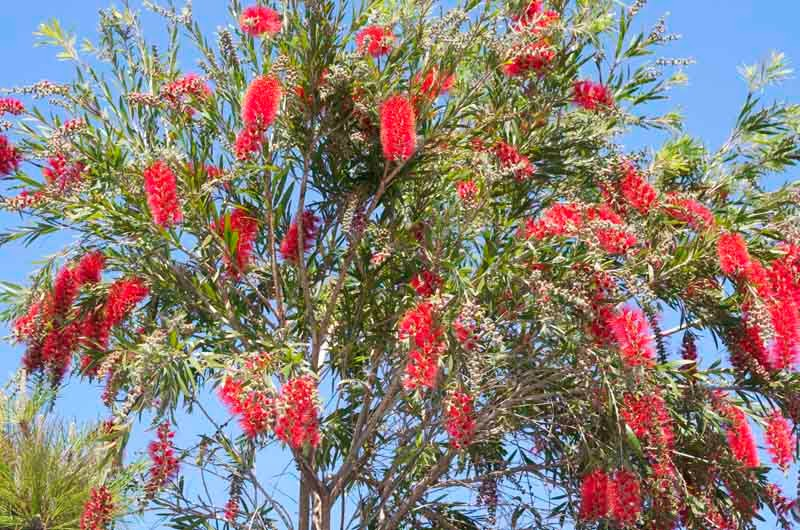 Flowers, Bottlebrush,tree