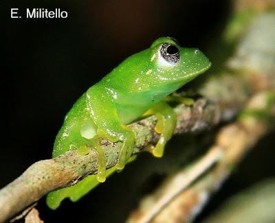 anfibios de Argentina Ranita verde enana Hyalinobatrachium uranoscopum