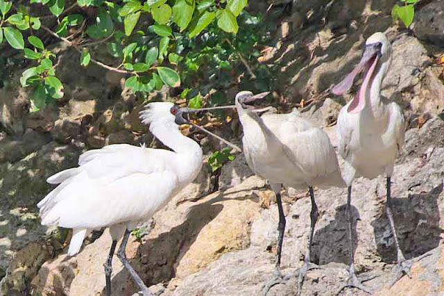 Three Spoonbill birds on a rock