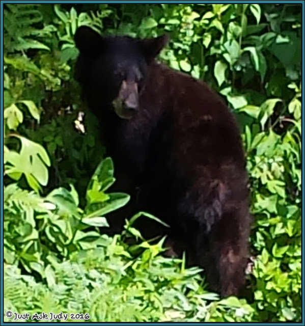 American Black Bear sighted along the Skyline Drive in Shenandoah National Park