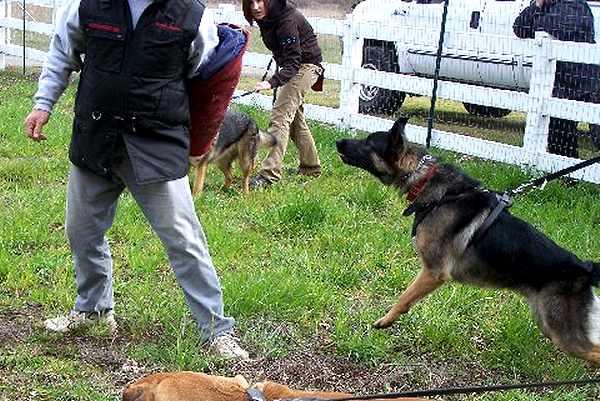 Big German Shepherds: German Shepherd Attack Dog