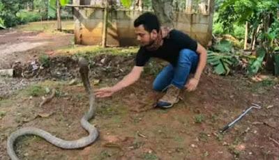 panji petualang bermain dengan ular king kobra