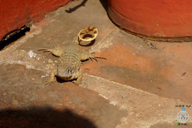 jaszczurka trynidad