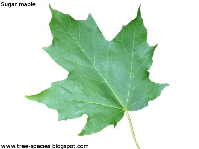 The Worlds Tree Species Sugar Maple Leaf