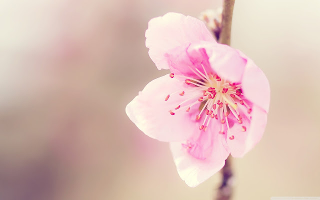 Peach Flowers HD Wallpapers Images Free Download