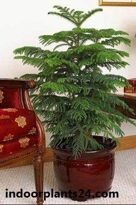 Araucaria heterophylla indoor plant image