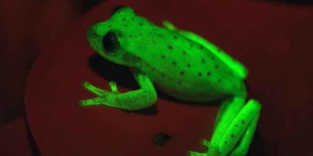 Penemuan Langka, Katak Memancarkan Cahaya Bak Lampu Neon