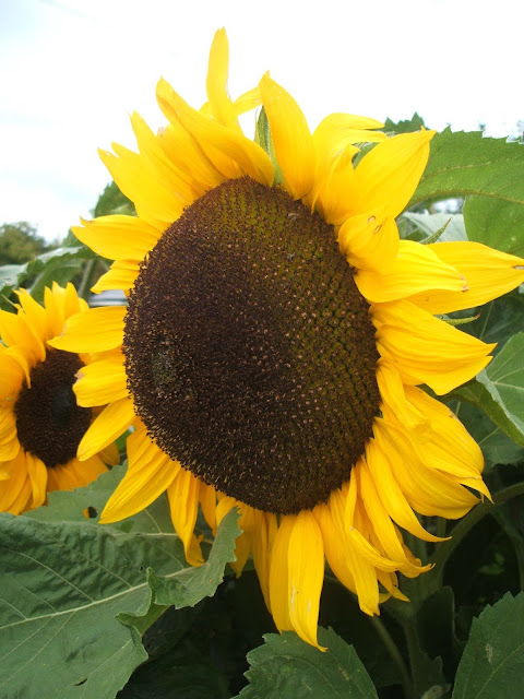 giant sunflowers on our allotment plot