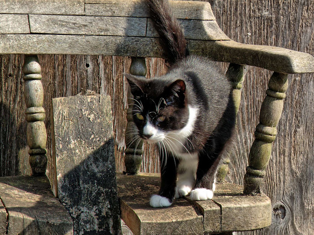 Squeaky, the adoptable tuxedo cat, perched on a very old chair in the sun