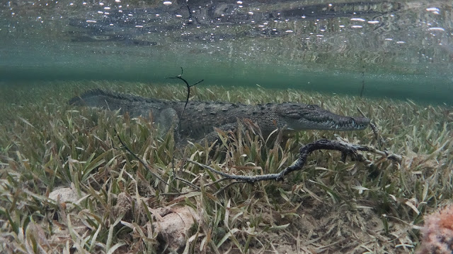 Crocodile walks under surface