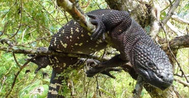 Meksika boncuklu kertenkelesi jilet gibi keskin dişlere sahiptir, ısırdığı bir şeyi anında parçalayabilir.