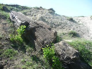 Алексеево-Дружковка. Окаменелые деревья араукарии
