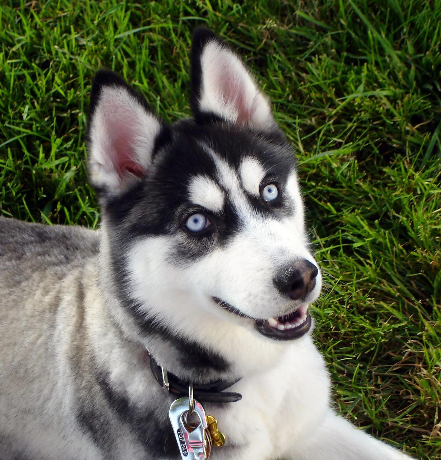 Siberian Husky Temperament Facts Best Male Dog Name