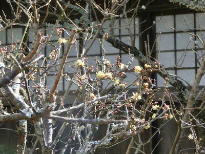 瑞泉寺の黄梅