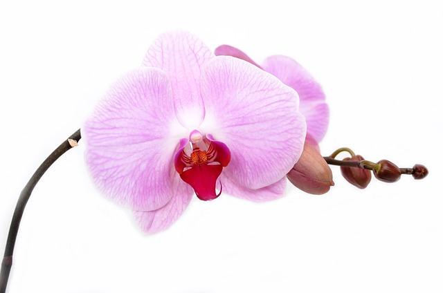 ý nghĩa hoa lan hồ điệp