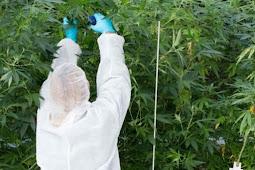 Thailand's Legislature Legalizes Medical Use of Marijuana