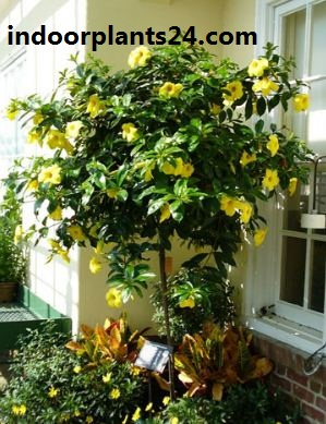 Allamanda cathartica indoor house plant