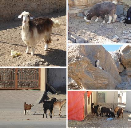 Oman le capre