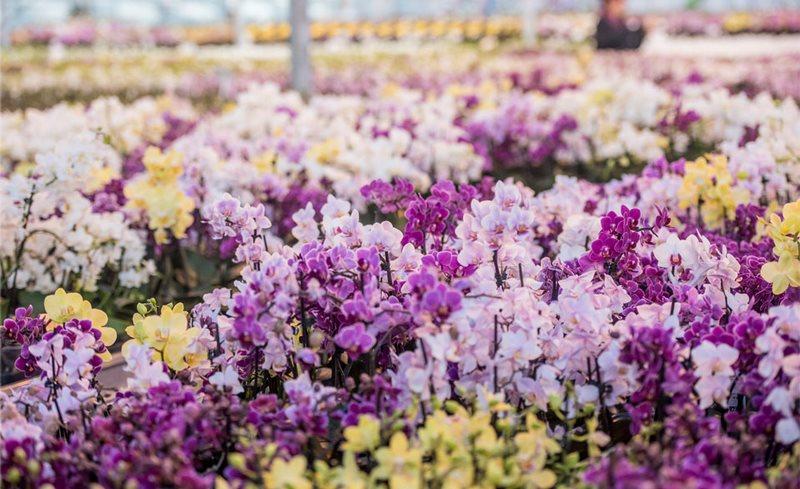 orquideas rosas y amarillas