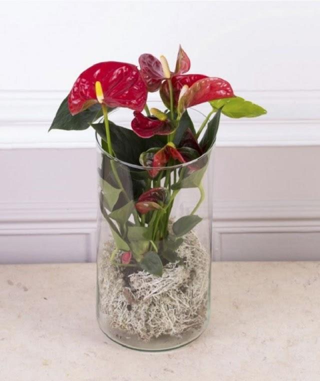 A breath of fresh air: Air-purifying houseplant anthurium