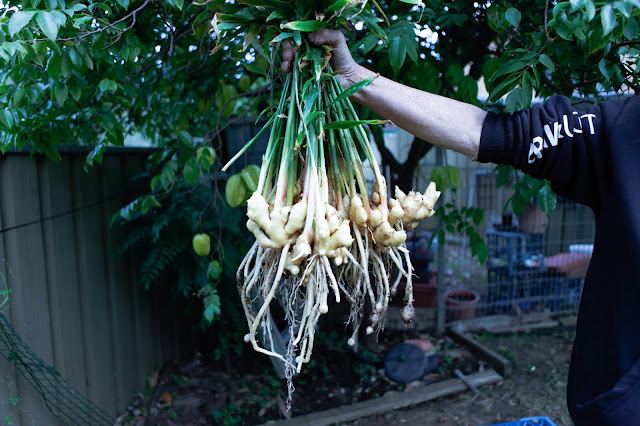 How To Grow Your Own Ginger In A Pot