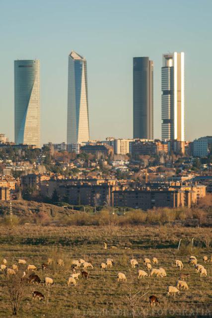Rebaño de ovejas pastando y al fondo las 4 Torres de Madrid