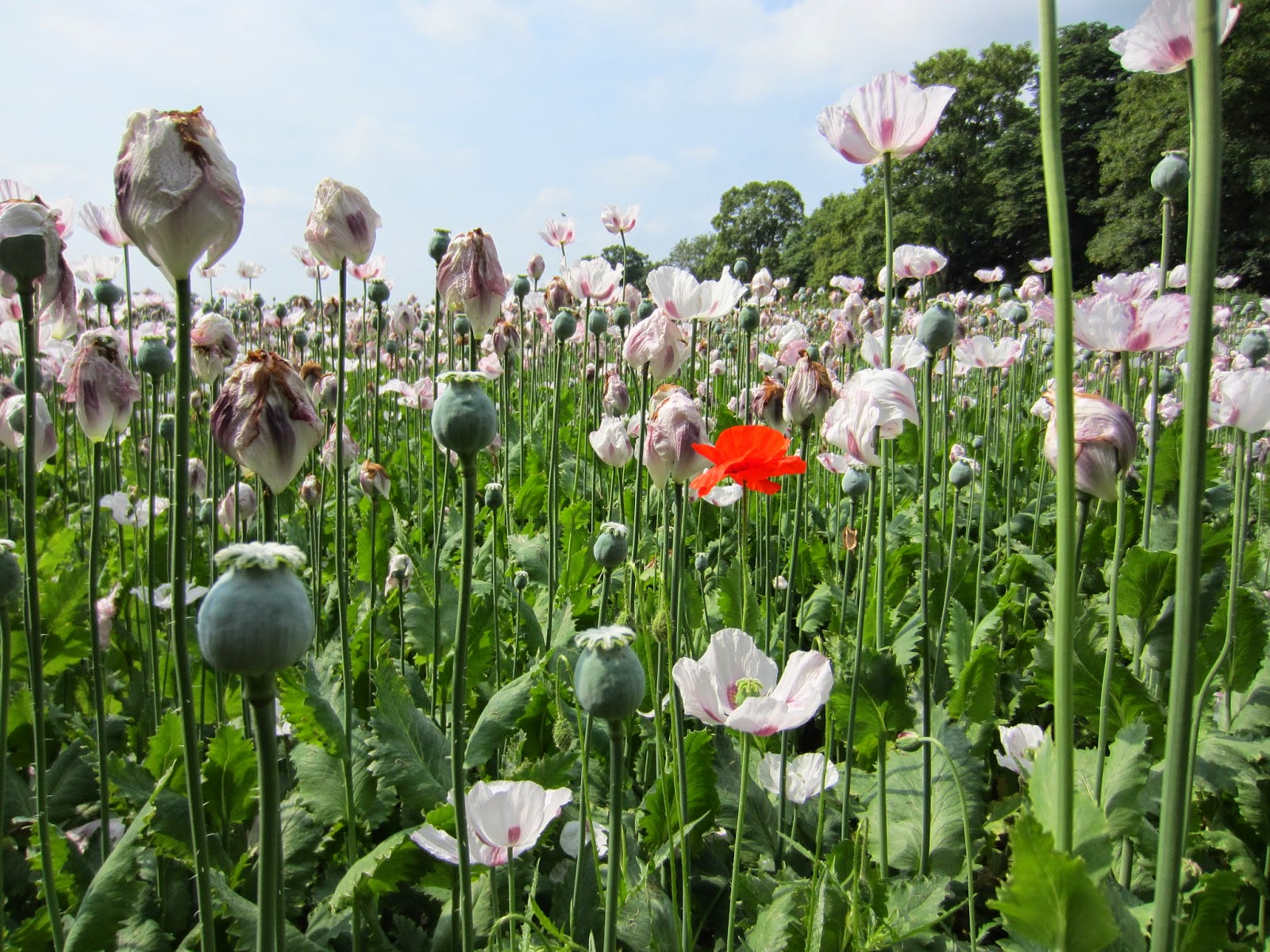 A red poppy amongst white poppies