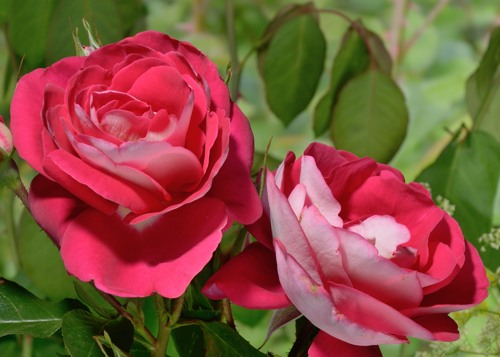 Heimatmelodie rose сорт розы фото