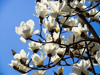 Haku-mokuren (Magnolia denudata) flowers: Kita-kamakura