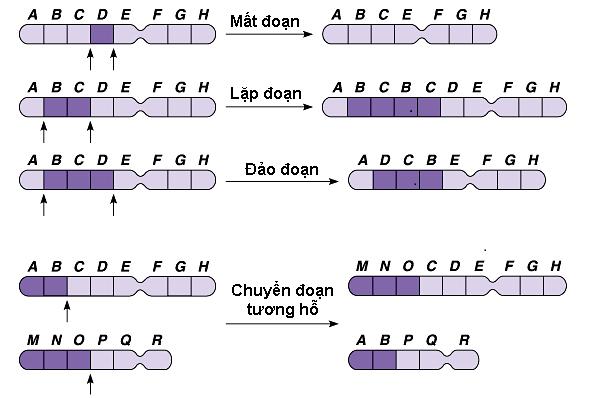 Đột biến cấu trúc nhiễm sắc thể.