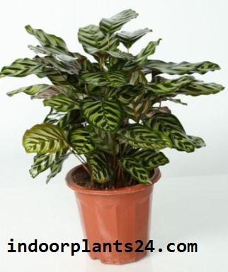 Calathea Makoyana Marantaceae indoor house plant picture