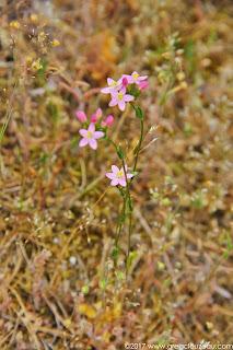 Petite centaurée (Centaurium erythrea), Fontainebleau