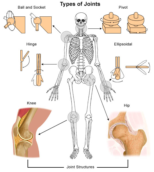 Joints Of The Human Skeleton Bones Why Are They Movable Ency123