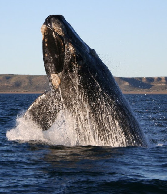 Right whales, already an endangered species, may face a dim future