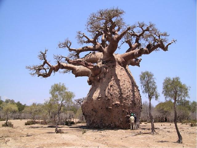 Outro exemplo da grandeza da natureza. Esta árvore parece não ter respeitado a dieta
