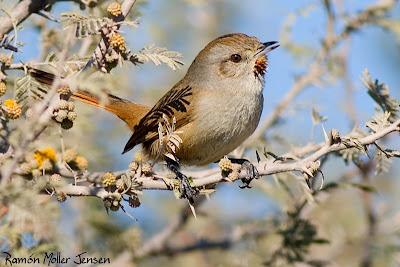 aves passeriformes de argentina Canastero chaqueño Asthenes baeri