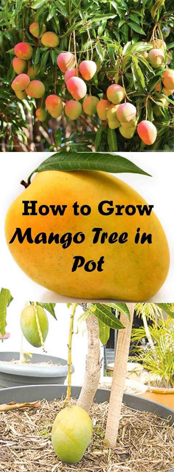 Flowers Gardens How To Grow Mango Tree In Pot