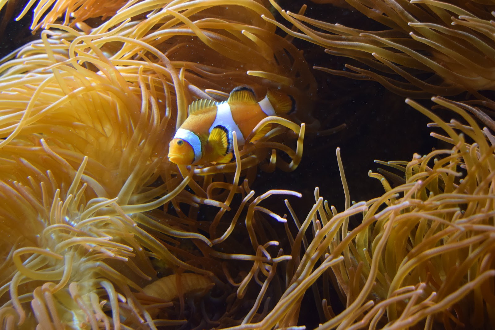 Clown Fish 1