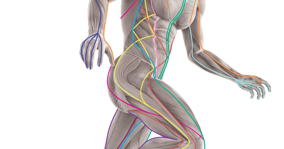 ANATOMY TRAINS UK | Designed for Movement Therapists! | well ...