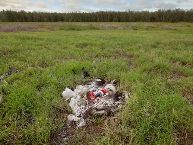 Burung Mati Mengenaskan, Ternyata Isi Perutnya Benar-Benar Mengejutkan... Ngeri..