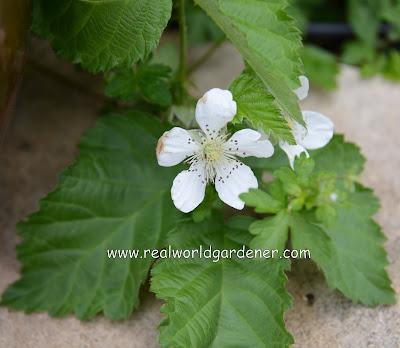 Loganberry%2Bflowers.JPG