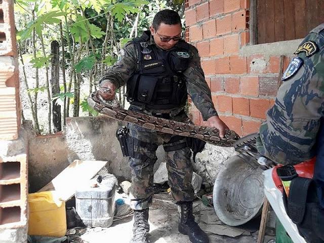 Guarda ambiental de Socorro captura cobra Jiboia no povoado Oiteiros