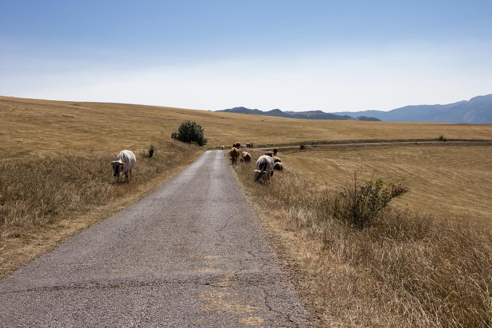Unser Roadtrip nach Montenegro - Durmitor National Park - Kühe in der Nähe von Trsa