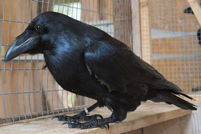 Dlium Negative emotional contagion and cognitive bias in common ravens (Corvus corax)
