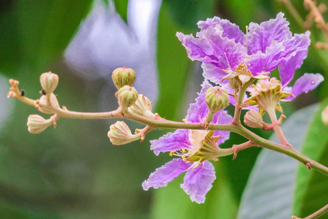 Crepe myrtle lagerstroemia lavender blooms Alpharetta Ga